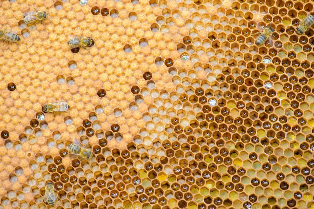 Czerw pszczeli trutory